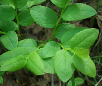 Лист черники