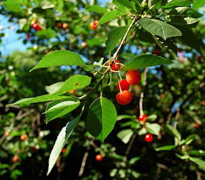 Лист вишни